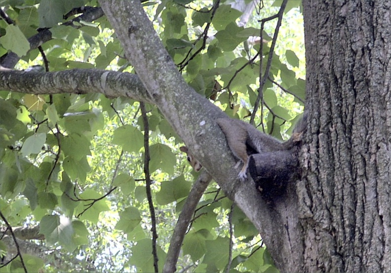 Squirrel relaxing in our tulip poplar.